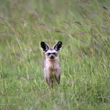 Bat Eared Fox Royalty Free Stock Photo