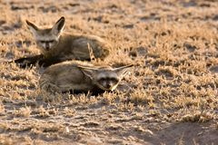 Bat-eared fox Stock Image