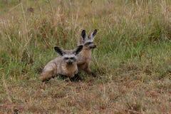 Bat-eared fox. Bat eared fox couple sitting together in grass, masai mara, kenya Royalty Free Stock Photo