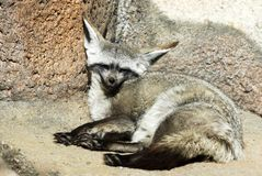 Bat-eared Fox. Closeup of bat-eared fox lying down Royalty Free Stock Images