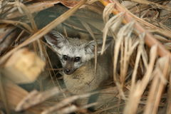Bat eared fox Stock Photos