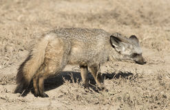Bat eared fox. Stock Photography