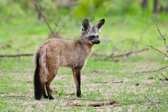 Bat-Eared Fox alert pose. Stock Photos