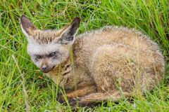 Bat-eared Fox Baby Curled Up Stock Images