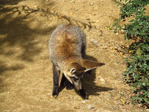 Bat Eared Fox Stock Photography