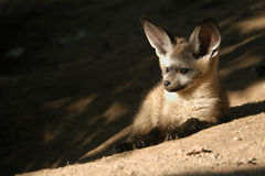 Bat-eared fox cub Royalty Free Stock Photo
