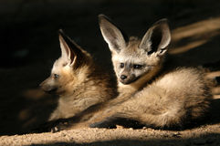 Bat-eared Fox Cubs. Two bat-eared fox cubs (Otocyon megalotis) at Zoo Dvur Kralove in Eastern Bohemia, Czech Republic. Bat-eared Foxes with enormous large ears Stock Photos