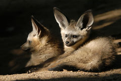 Bat-eared fox cubs Royalty Free Stock Photography