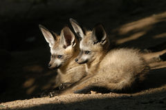 Bat-eared fox cubs Royalty Free Stock Image