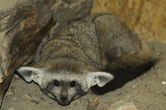 Bat-eared fox (Otocyon megalotis). An African fox with huger ears stock photo