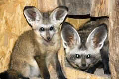 Bat-eared fox (Otocyon megalotis) Royalty Free Stock Photo