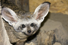 Bat-eared fox (Otocyon megalotis). Head of a bat-eared fox stock image
