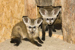 Bat-eared fox (Otocyon megalotis). Two young bat-eared foxes royalty free stock photo