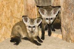 Bat-eared fox (Otocyon megalotis) Royalty Free Stock Photo