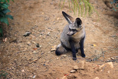 Bat-eared fox (Otocyon megalotis) Stock Photo
