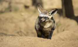 Bat-eared fox (Otocyon megalotis). Royalty Free Stock Image