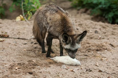 The bat-eared fox (Otocyon megalotis) Stock Image