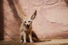 Bat-eared fox (Otocyon megalotis). Stock Photos