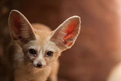 Bat-eared fox (Otocyon megalotis). Stock Photography