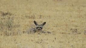 Bat-eared fox lying between grass in Central Kalahari Game Reserve, BotswanA. Bat-eared Fox otocyon megalotis lying in grassland in Central Kalahari Game Reserve Stock Photo