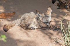Bat-eared fox Royalty Free Stock Image