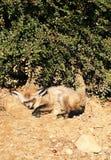 Bat-eared fox (Otocyon megalotis). Stock Photo