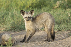 Bat-eared Fox (Otocyon megalotis) Tanzania Royalty Free Stock Images