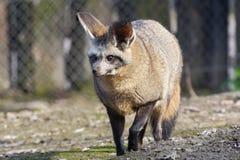 Bat-eared fox (Otocyon megalotis) stock images