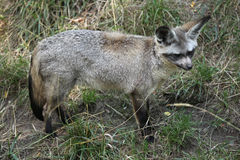 Bat-eared fox (Otocyon megalotis). Royalty Free Stock Images