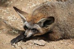 Bat-eared fox (Otocyon megalotis). Royalty Free Stock Photos
