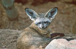 Bat-eared Fox. Royalty Free Stock Images