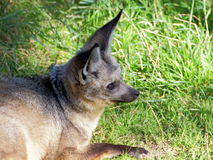 Bat-eared fox portrait Royalty Free Stock Photography