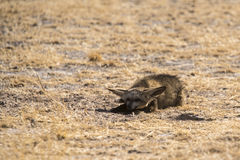 Bat-eared fox royalty free stock photos