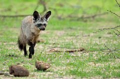 Bat-Eared Fox returning to den Royalty Free Stock Images