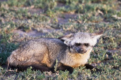 Bat Eared Fox in Serengeti. National Park, Tanzania Stock Photography