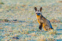 Free Bat-eared Fox Sitting Stock Image - 80137211