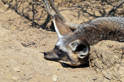 Bat-eared fox Stock Photography