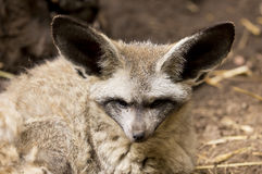 Bat Eared fox Stock Images