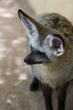 Bat-eared fox Royalty Free Stock Photos