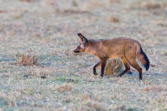 Bat-eared Fox Stalking Prey stock images