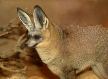 Bat Eared Fox closeup Royalty Free Stock Photography