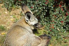 Bat-eared fox under the berry bush royalty free stock photos