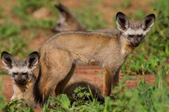 Bat-eared foxes stock images