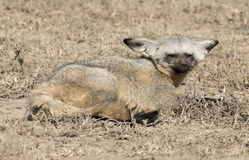 Bat eared foxes Royalty Free Stock Photography