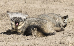 Bat eared foxes Stock Photography