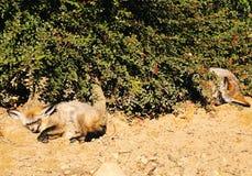 Bat-eared foxes  (Otocyon megalotis). Stock Photos