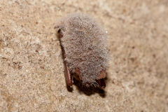 Bat- Eastern pipistrelle (Perimyotis subflavus) Stock Image