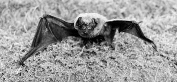 Bat emit ultrasonic sound to produce echo. Bat detector. Ugly bat. Dummy of wild bat on grass. Wild nature. Forelimbs. Adapted as wings. Mammals naturally royalty free stock photography