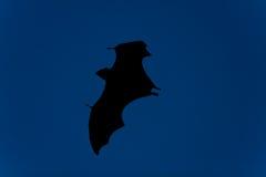 'bat' en vol la nuit Photos libres de droits