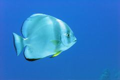 Bat Fish. Lone Bat-fish swimmng in the blue stock images
